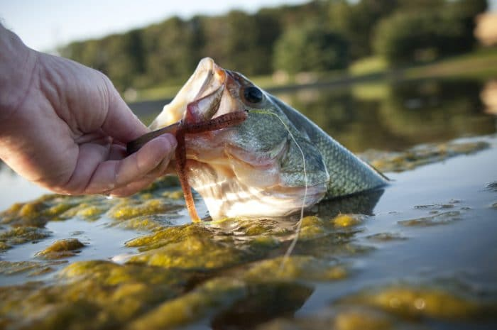 bass on lure